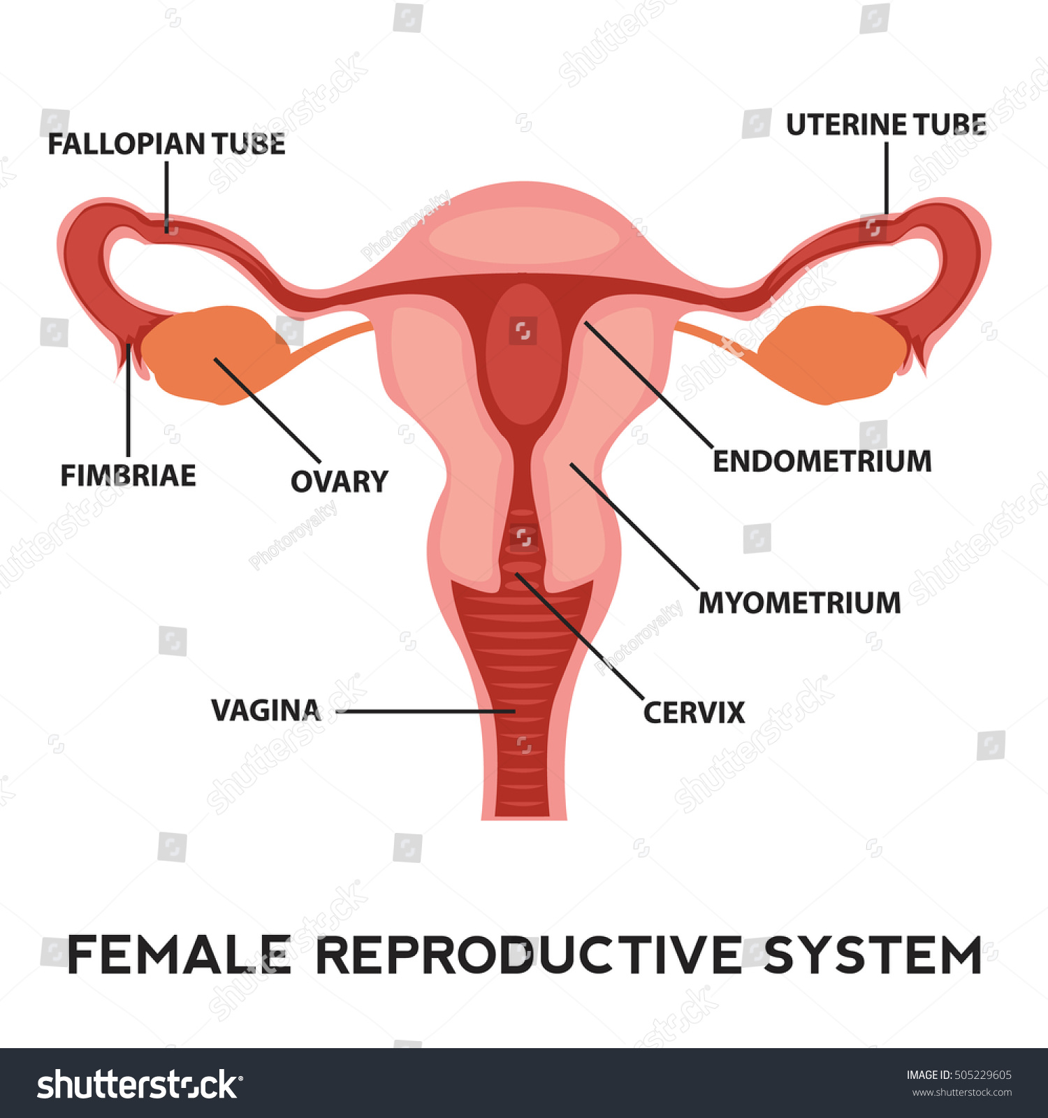 hight resolution of female reproductive system image diagram vagina medical human anatomy