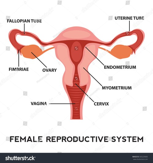 small resolution of female reproductive system image diagram vagina medical human anatomy