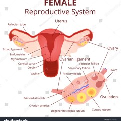 Menstrual Cycle Diagram With Ovulation Land Cruiser 80 Wiring Female Reproductive System Uterus Ovaries Scheme Stock