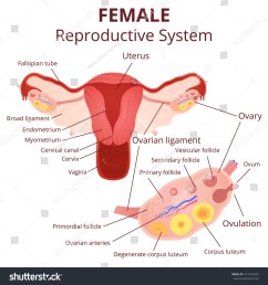 female reproductive system the uterus and ovaries scheme phase of the menstrual cycle [ 1500 x 1600 Pixel ]