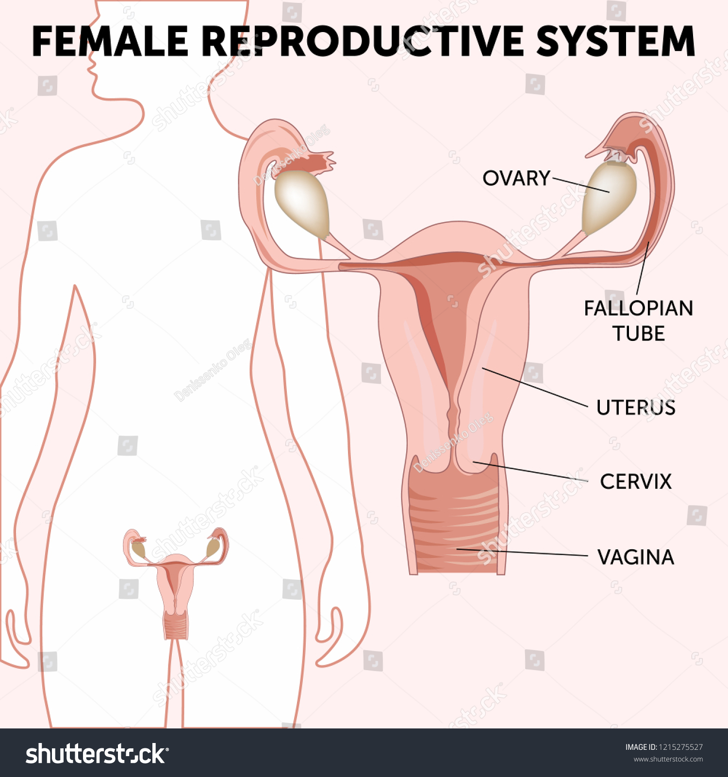 hight resolution of female reproductive system the uterus and ovaries scheme phase of the menstrual cycle