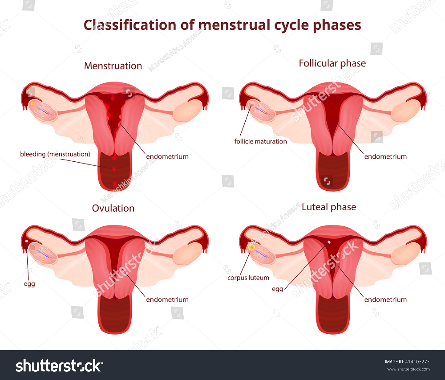 menstrual cycle diagram with ovulation 1977 honda ct70 wiring female reproductive system uterus ovaries scheme stock