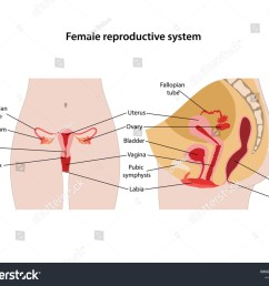 female reproductive system with main parts labeled anterior and lateral views vector illustration  [ 1500 x 1225 Pixel ]