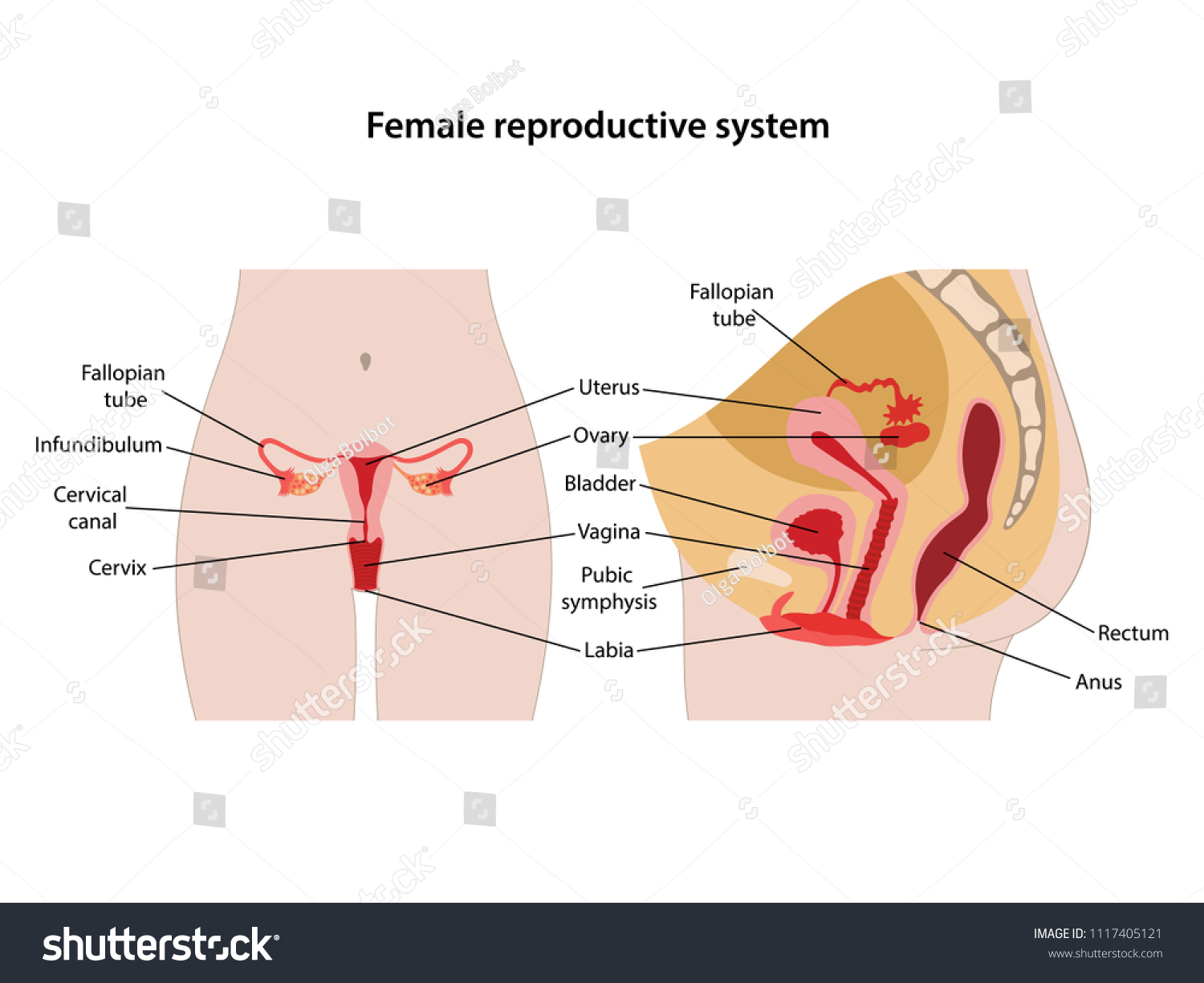 hight resolution of female reproductive system with main parts labeled anterior and lateral views vector illustration
