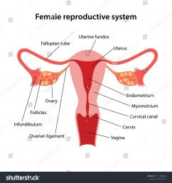 female reproductive system with main parts labeled vector illustration  [ 1500 x 1600 Pixel ]