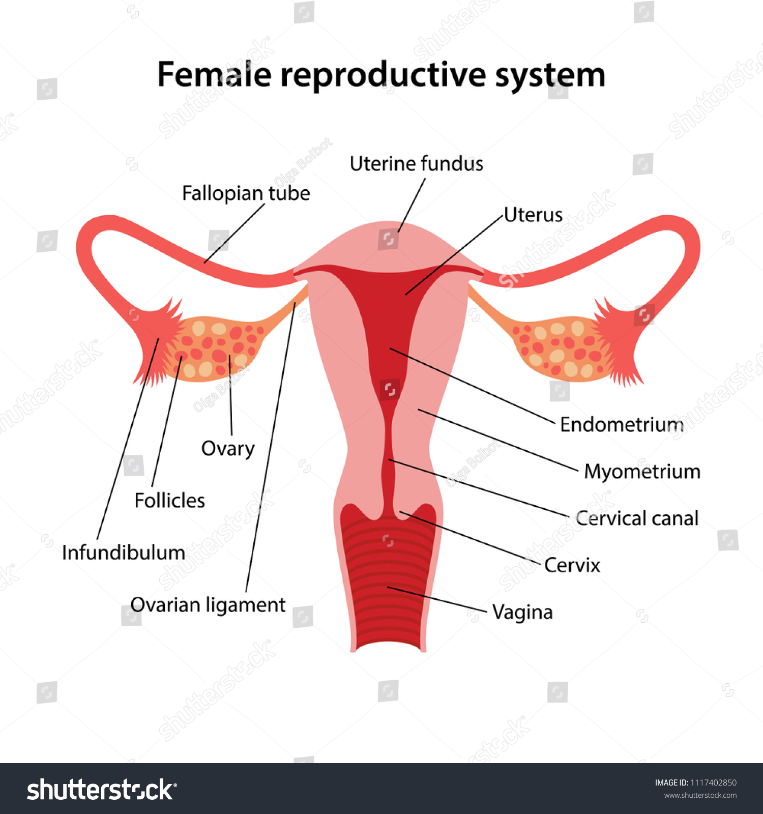 hight resolution of female reproductive system with main parts labeled vector illustration