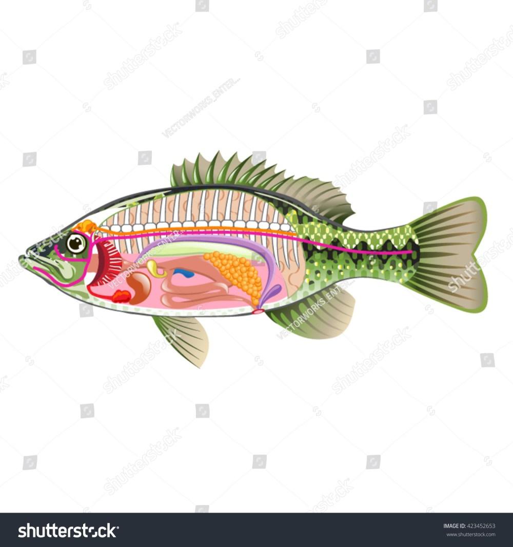 medium resolution of fish internal organs vector art diagram anatomy without labels