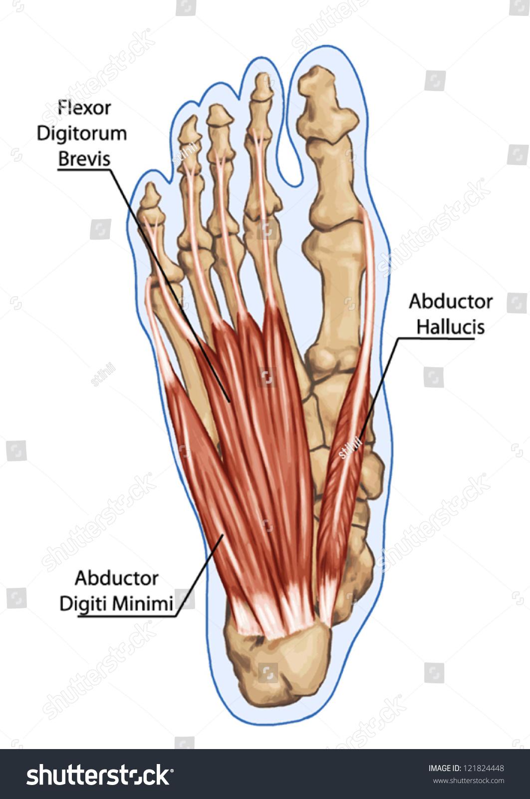 Flexor Digitorum Brevis Anatomy Leg Foot Stock Vector