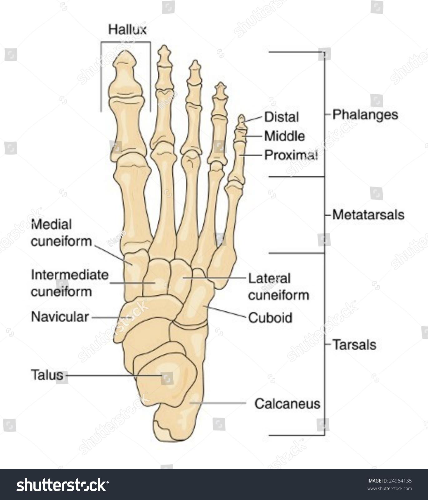 Foot Bones Labeled Stock Vector