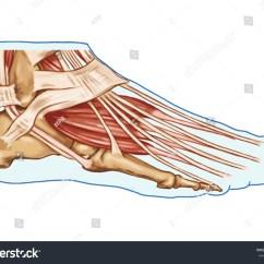 Full Human Leg Tendons Diagram Extension Cord Plug Wiring Foot Muscles And ÃÂ Â Anatomy Of
