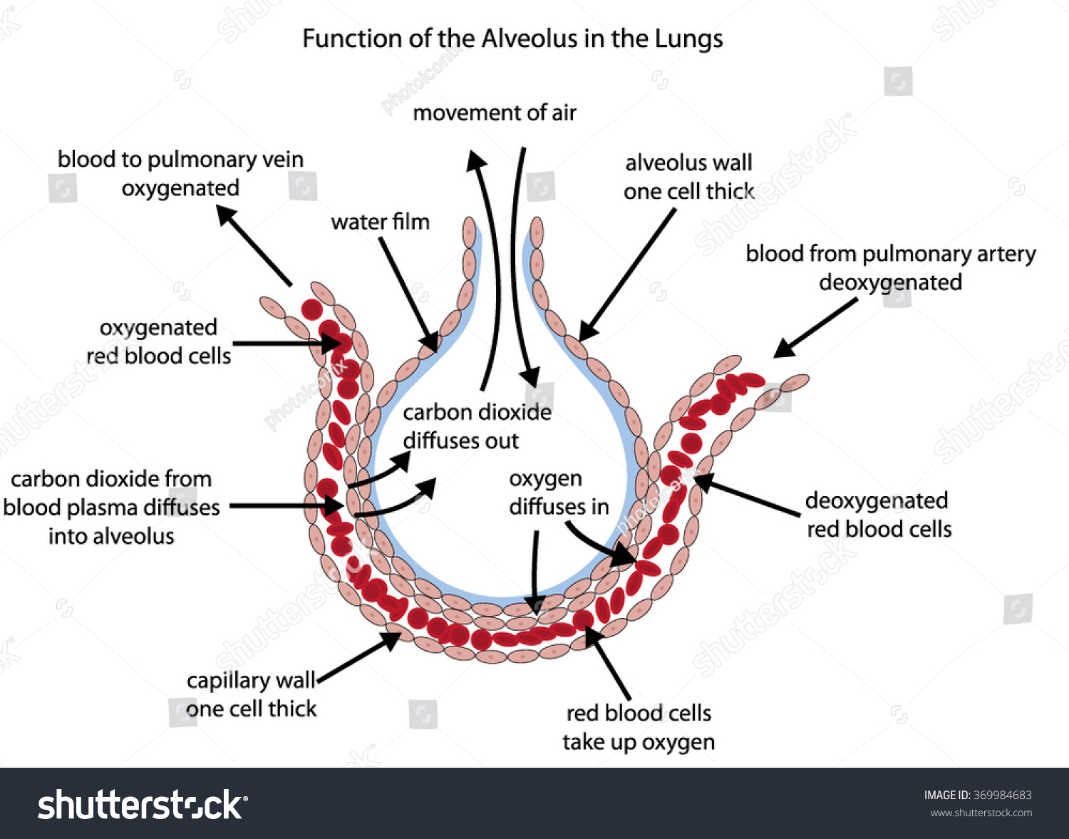 lung alveoli diagram block definition fully labelled alveolus lungs showing stock vector