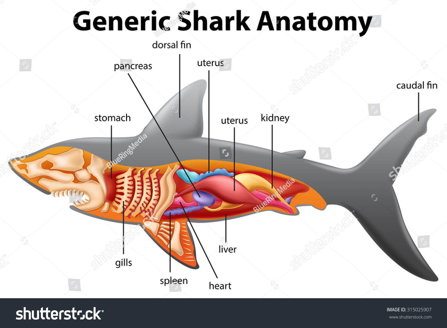 great white shark anatomy diagram golf cart wiring club car generic chart illustration stock vector