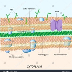 Gram Positive Cell Wall Diagram Simple Of Meiosis Negative Bacterial Stock Vector 106535378