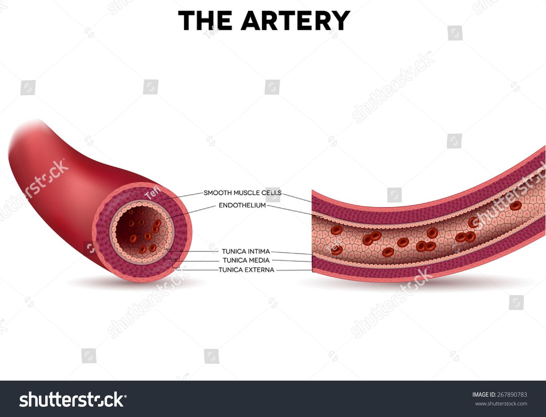 healthy heart diagram jeep tj hardtop wiring cardiac elsavadorla