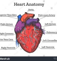 heart anatomy colored sketch anatomic human cardiac muscle diagram vector illustration [ 1500 x 1327 Pixel ]