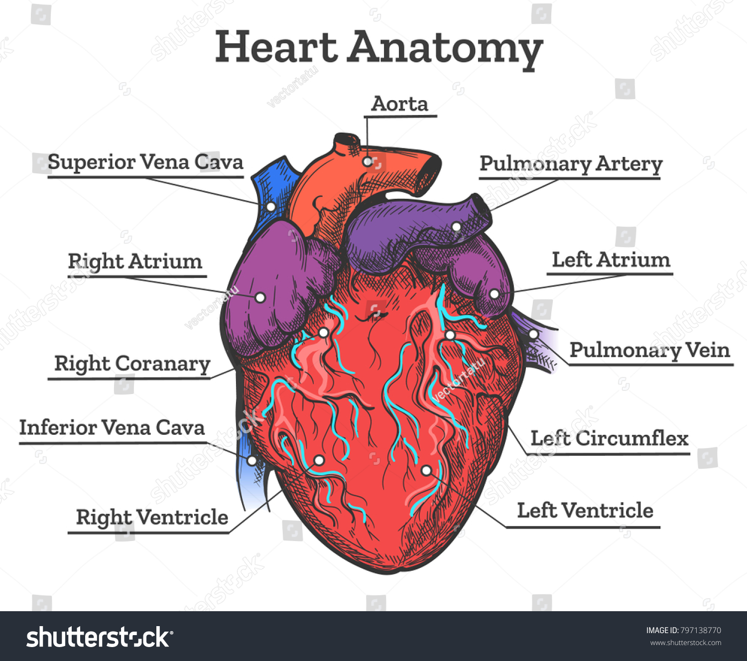 hight resolution of heart anatomy colored sketch anatomic human cardiac muscle diagram vector illustration