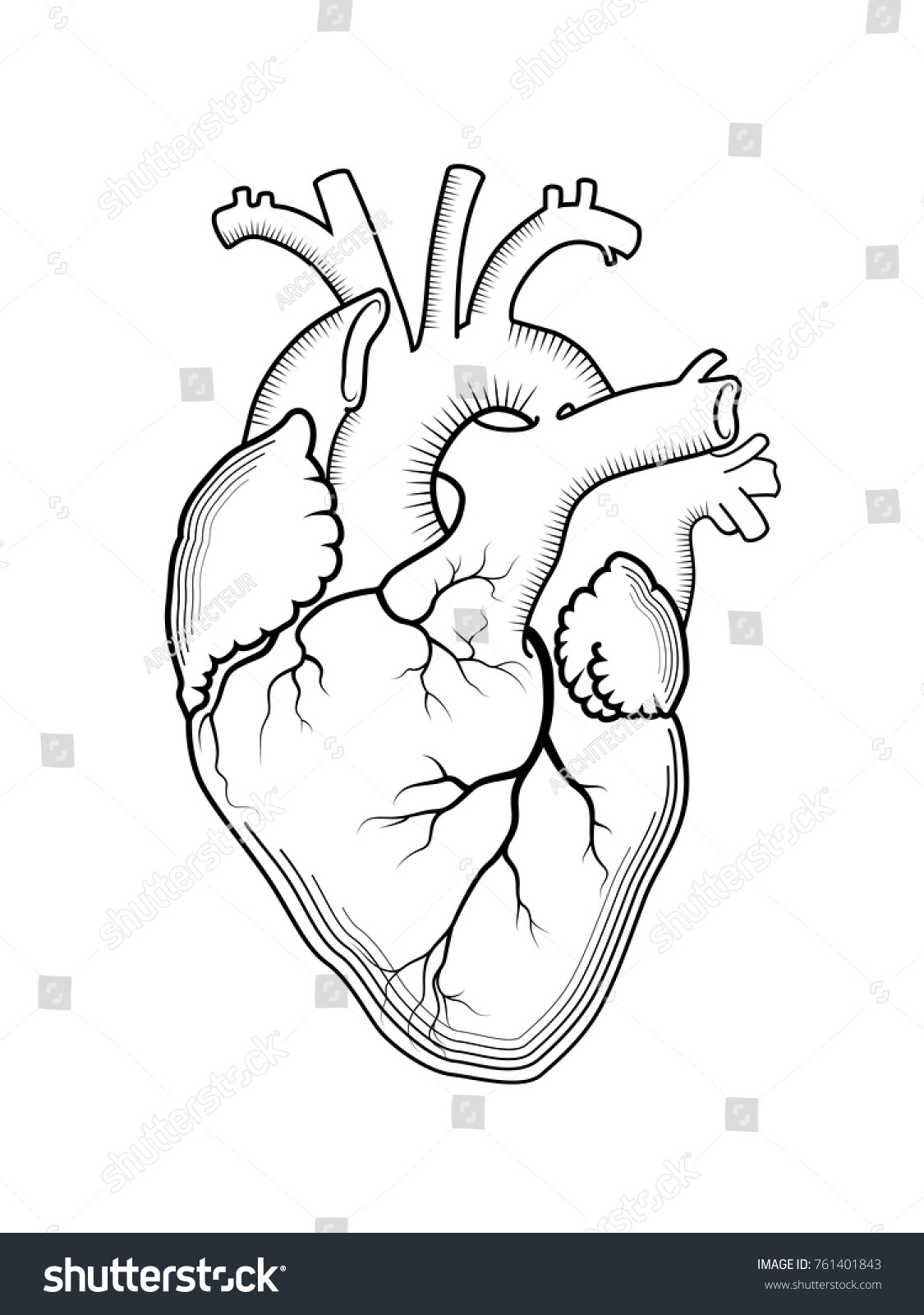 organ diagram outline 4 way trailer wiring harness heart internal human anatomical structure stock