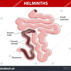 Inside Of A Worm Diagram Cat5e Straight Through Wiring Helminths On Small Intestine Ascaris Pinworms Stock Vector