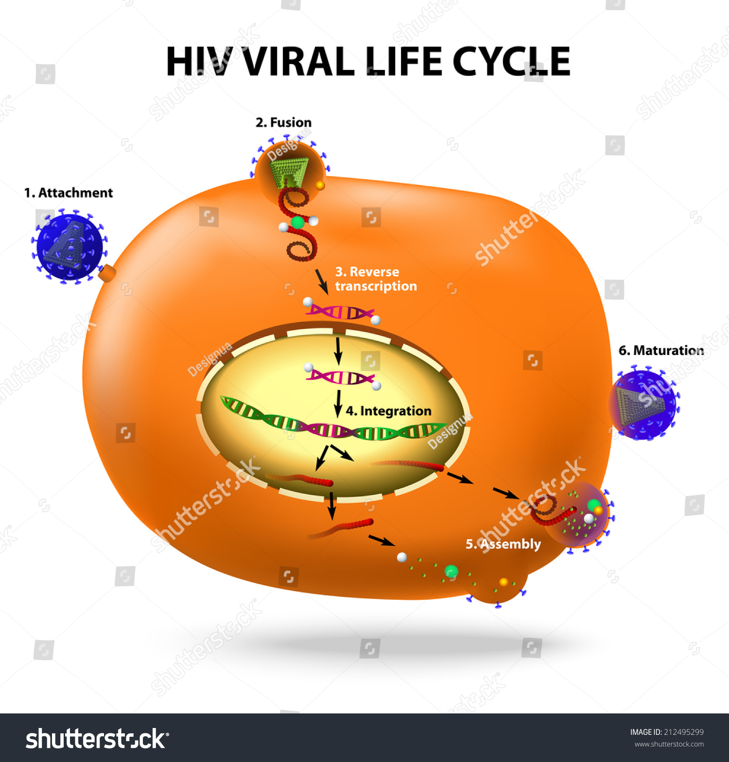 Hiv Viral Life Cycle Active Infection Of T Cell By Hiv
