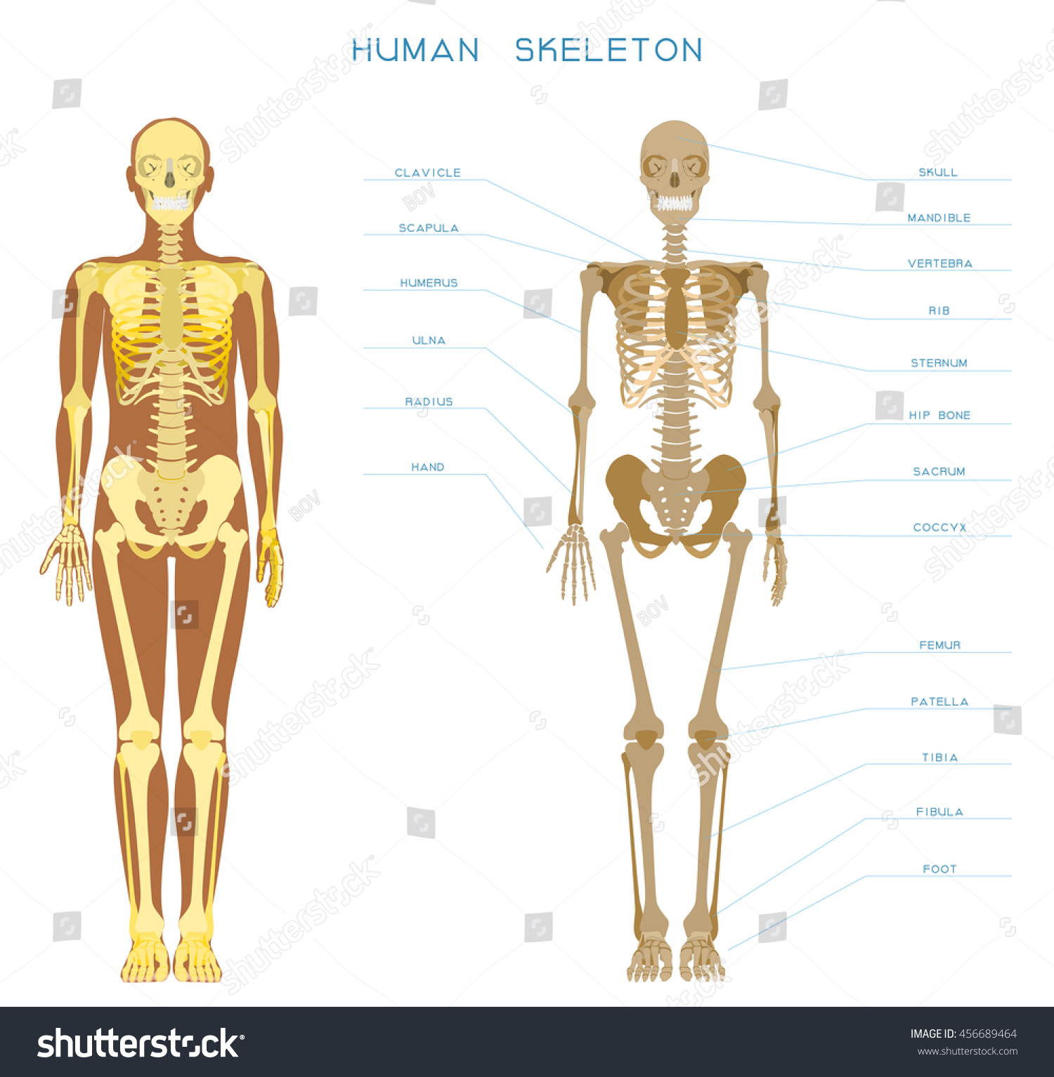 hight resolution of detailed skeleton of a full length front view