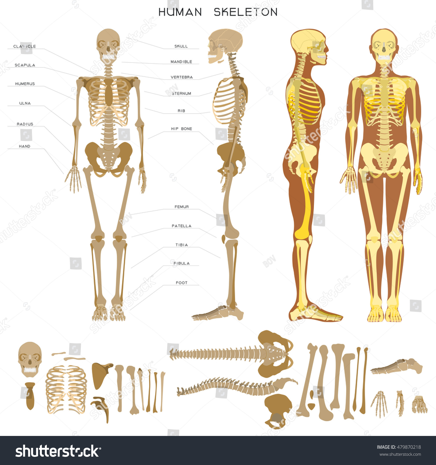 hight resolution of realistic detailed skeleton of a full length front and profile view