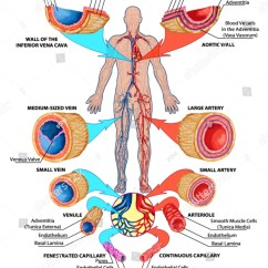 Human Vascular Anatomy Diagram Kenwood Kdc Mp242 Wiring Bloodstream Didactic Board Blood Stock