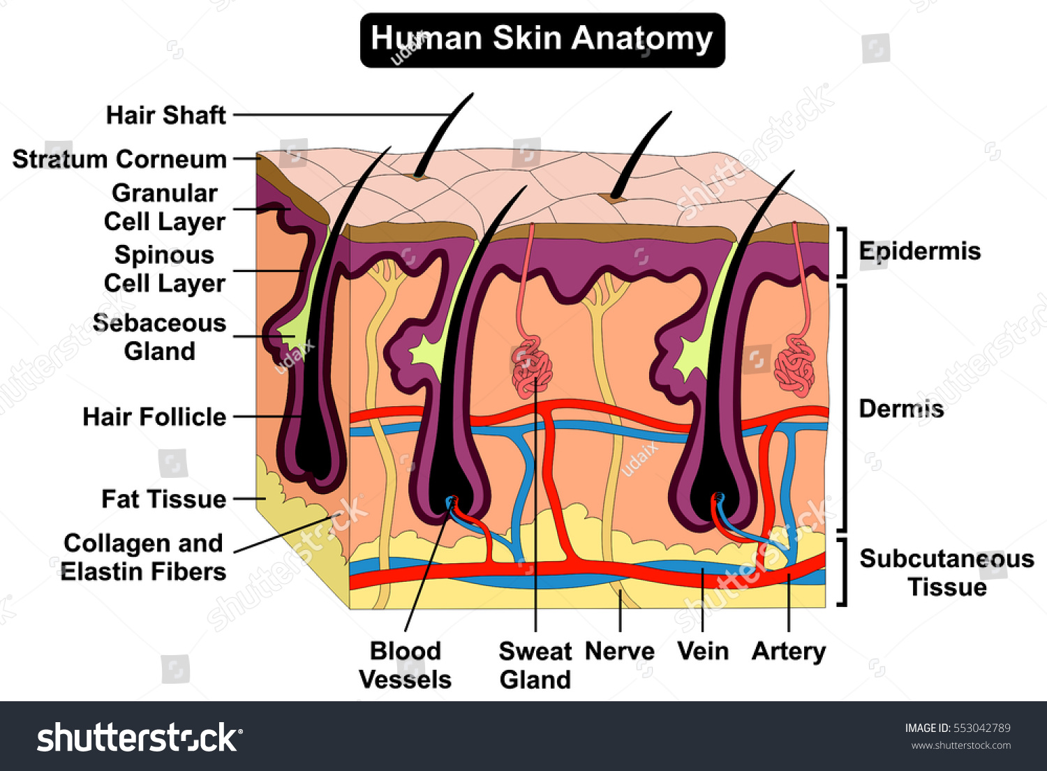 Human Body Skin Anatomy Diagram Infographic Stock Vector