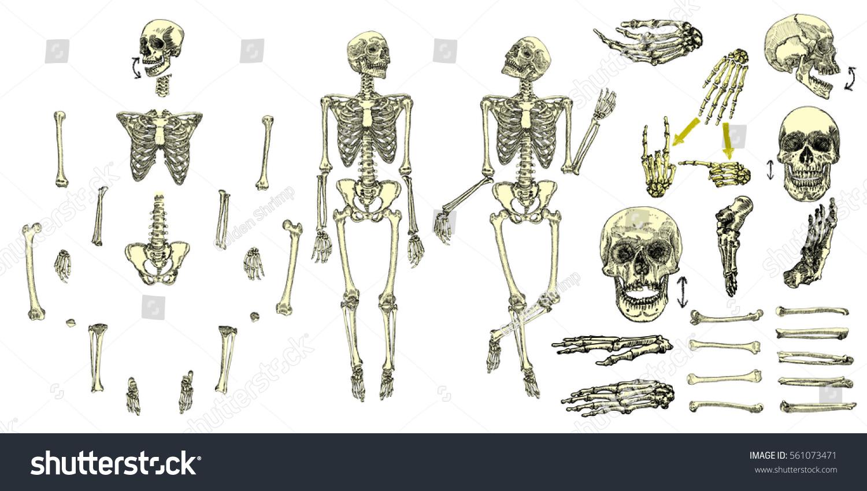 Human Bones Skeleton Drawing Collection Set Stock Vector
