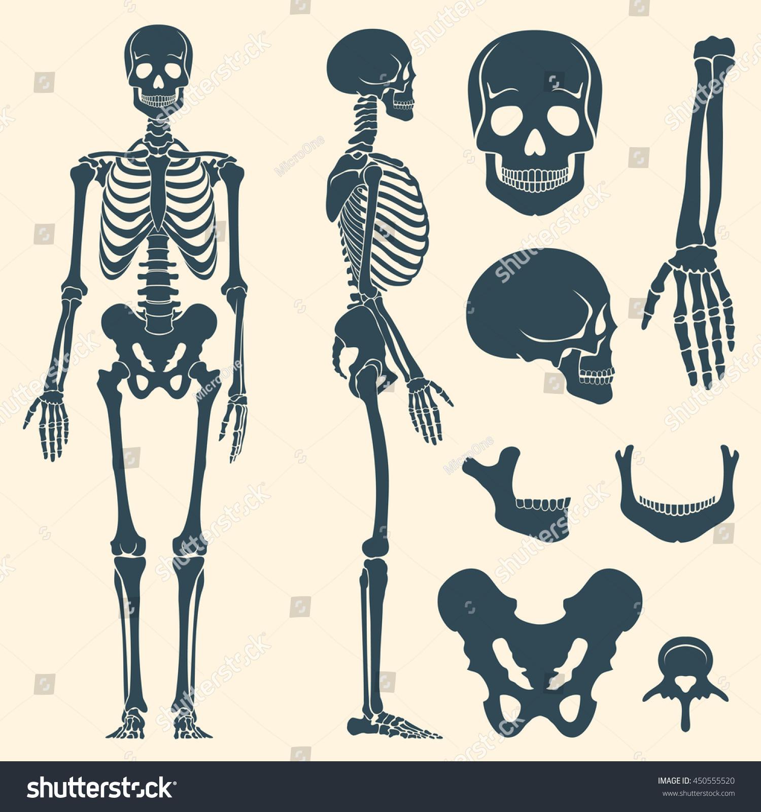 hight resolution of human bones skeleton silhouette vector bone set illustration spine and skull bones