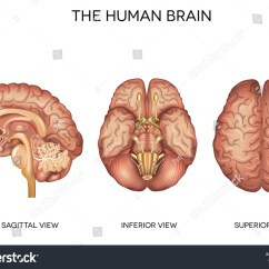Brain Diagram Sagittal View Pioneer Wiring Harness 16 Pin Human Detailed Anatomy Different Views Stock Vector