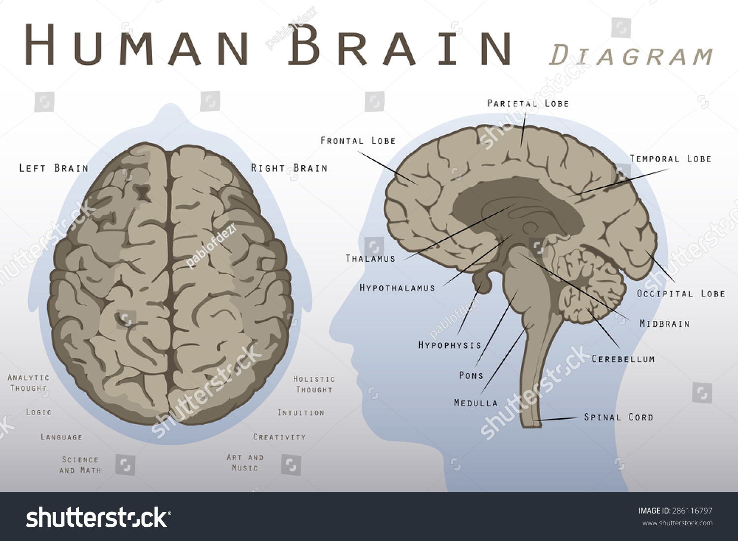 left side brain functions diagram of a flower and its parts human stock vector 286116797 shutterstock