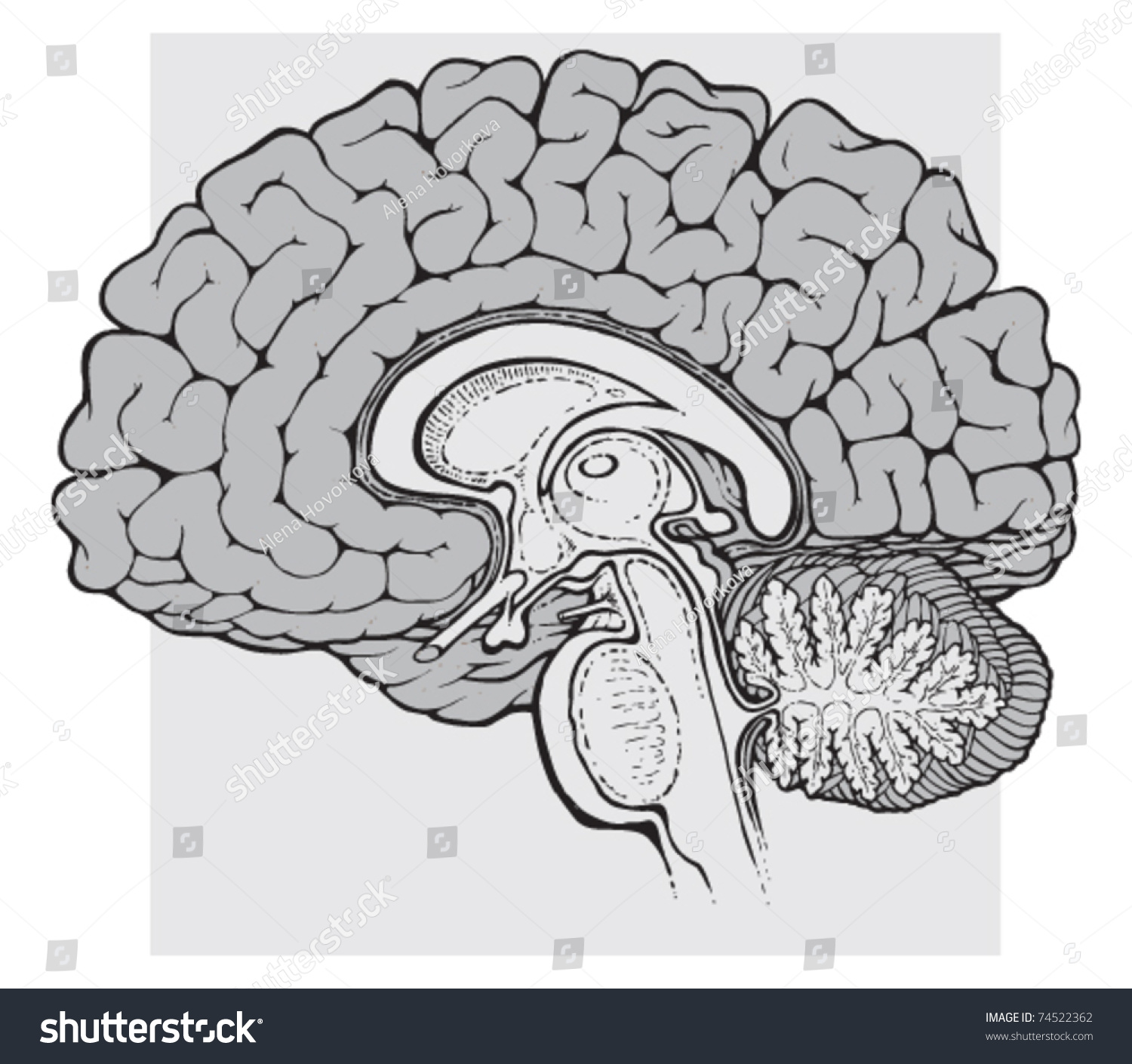 human brain diagram sagittal 2000 bmw 328i engine view medical schematic stock vector
