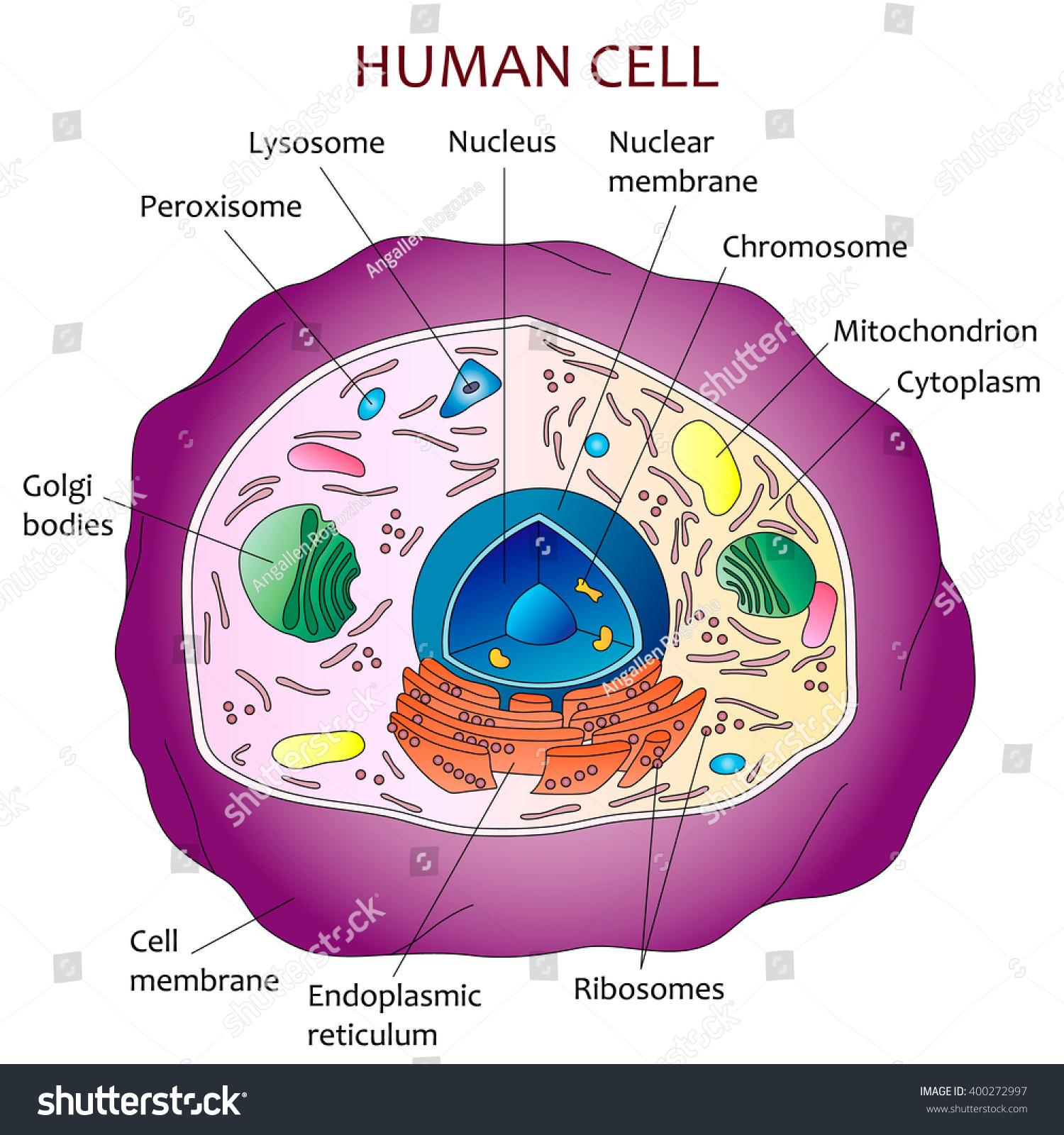 Human Cell Diagram Stock Vector Shutterstock