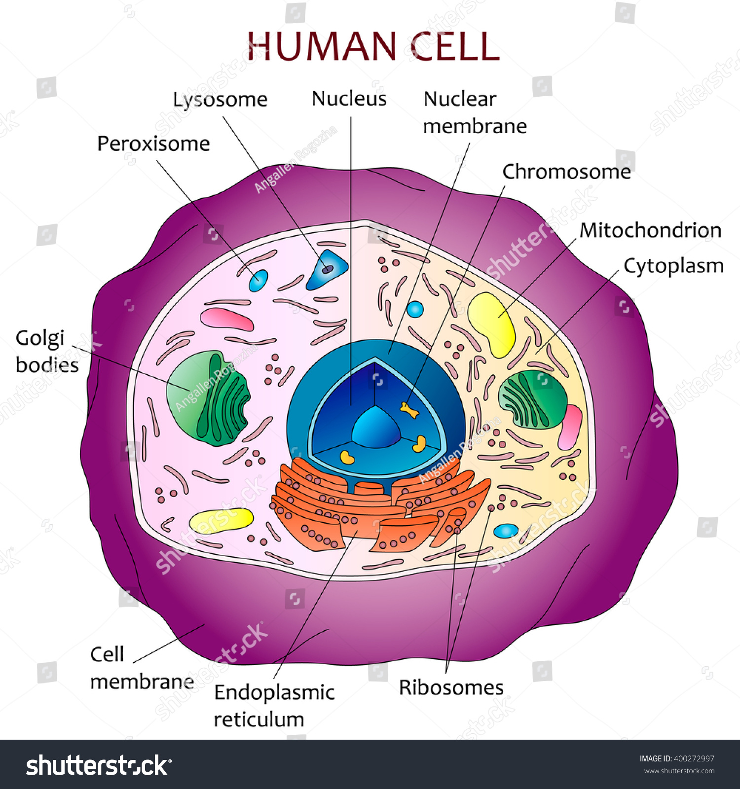 how to draw a cell diagram model horn wiring human stock vector 400272997 shutterstock