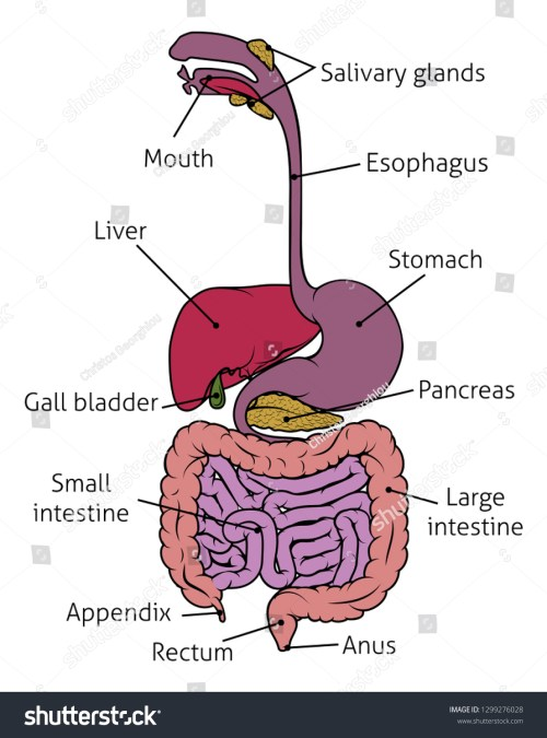 small resolution of human digestive system gut gastrointestinal tract anatomy diagram