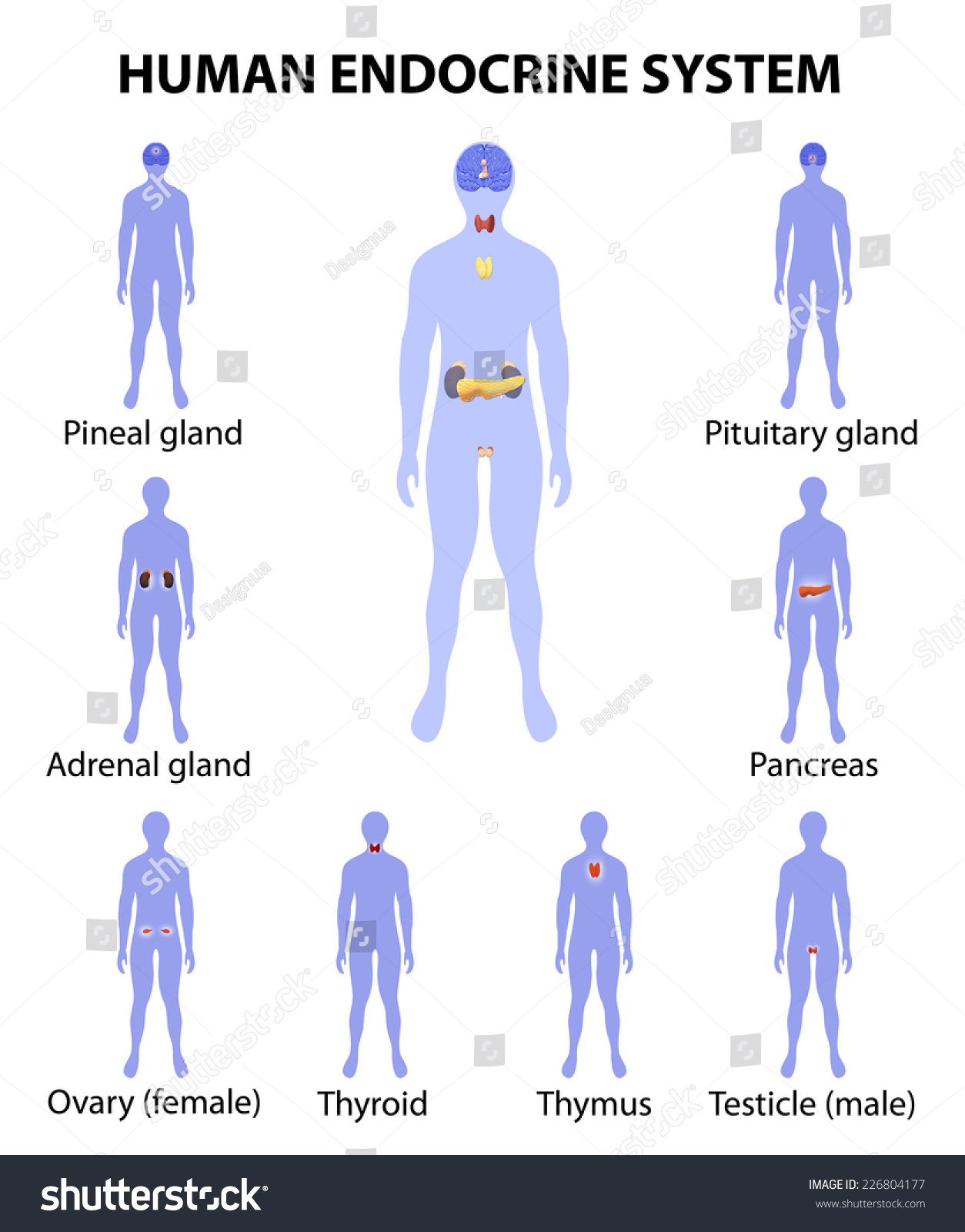 Human Endocrine System Human Silhouette Endocrine Stock