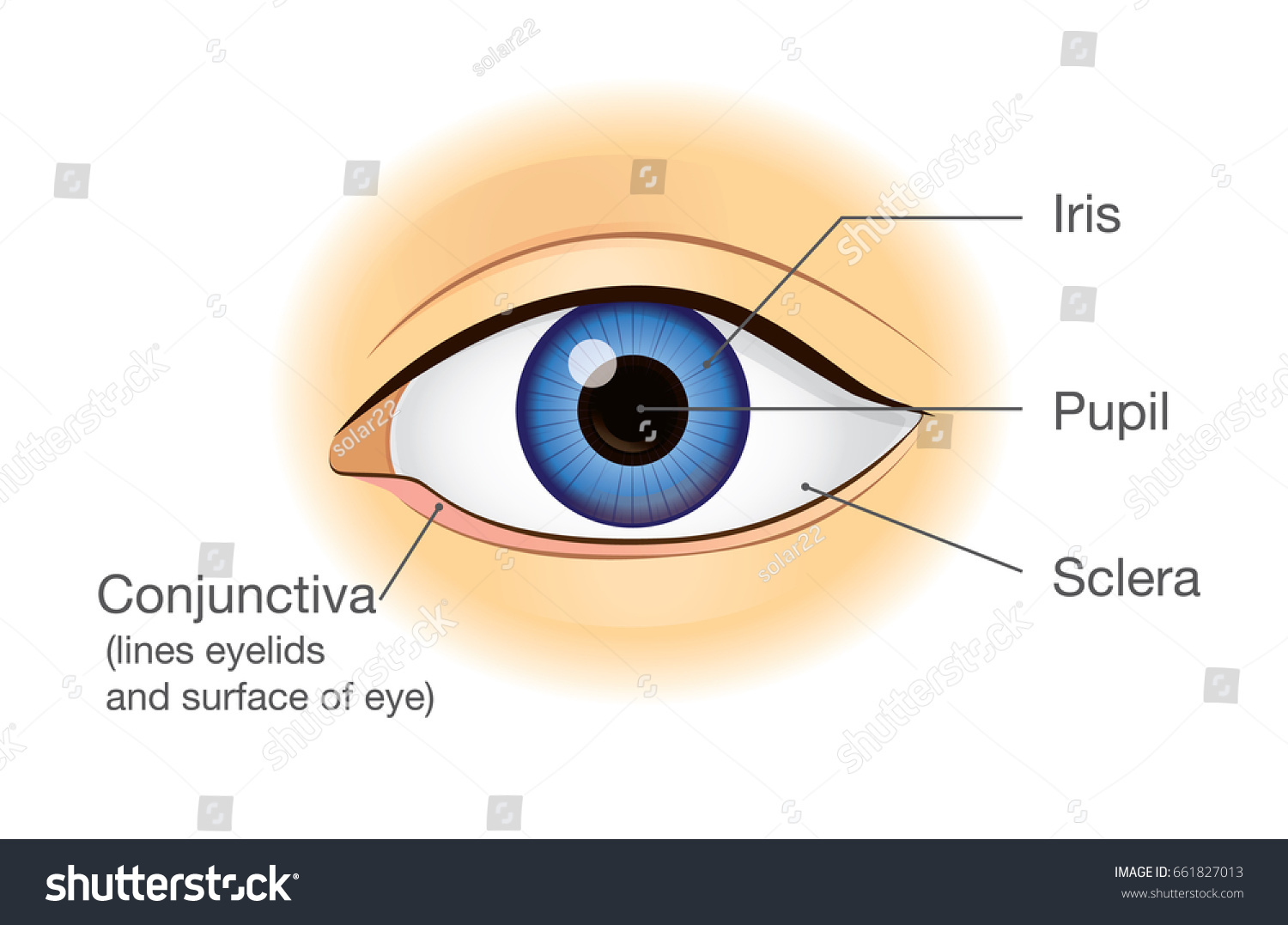 parts of the eyelid diagram 95 mustang wiring human eye anatomy front view illustration stock vector