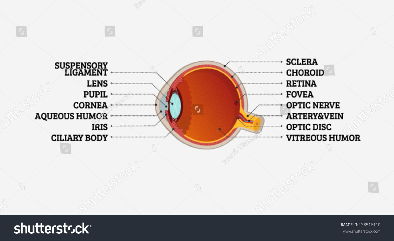 Human Eye Crosssection Labeling Stock Vector