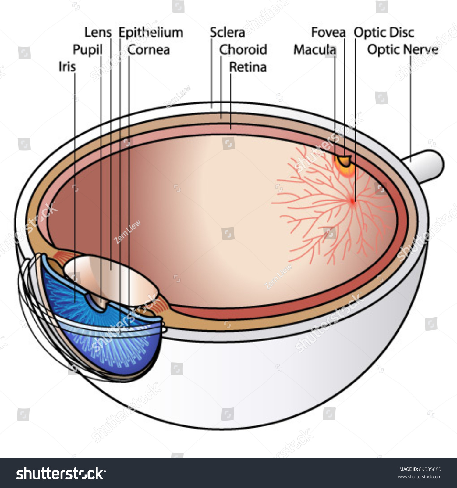 hight resolution of human eye cross section with labels labels may be deleted