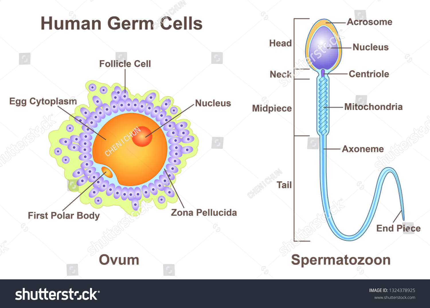 hight resolution of diagram of germ