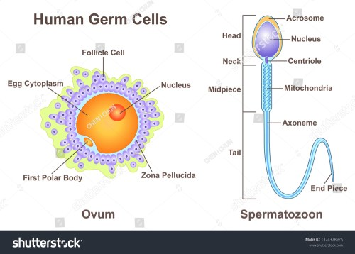 small resolution of diagram of germ