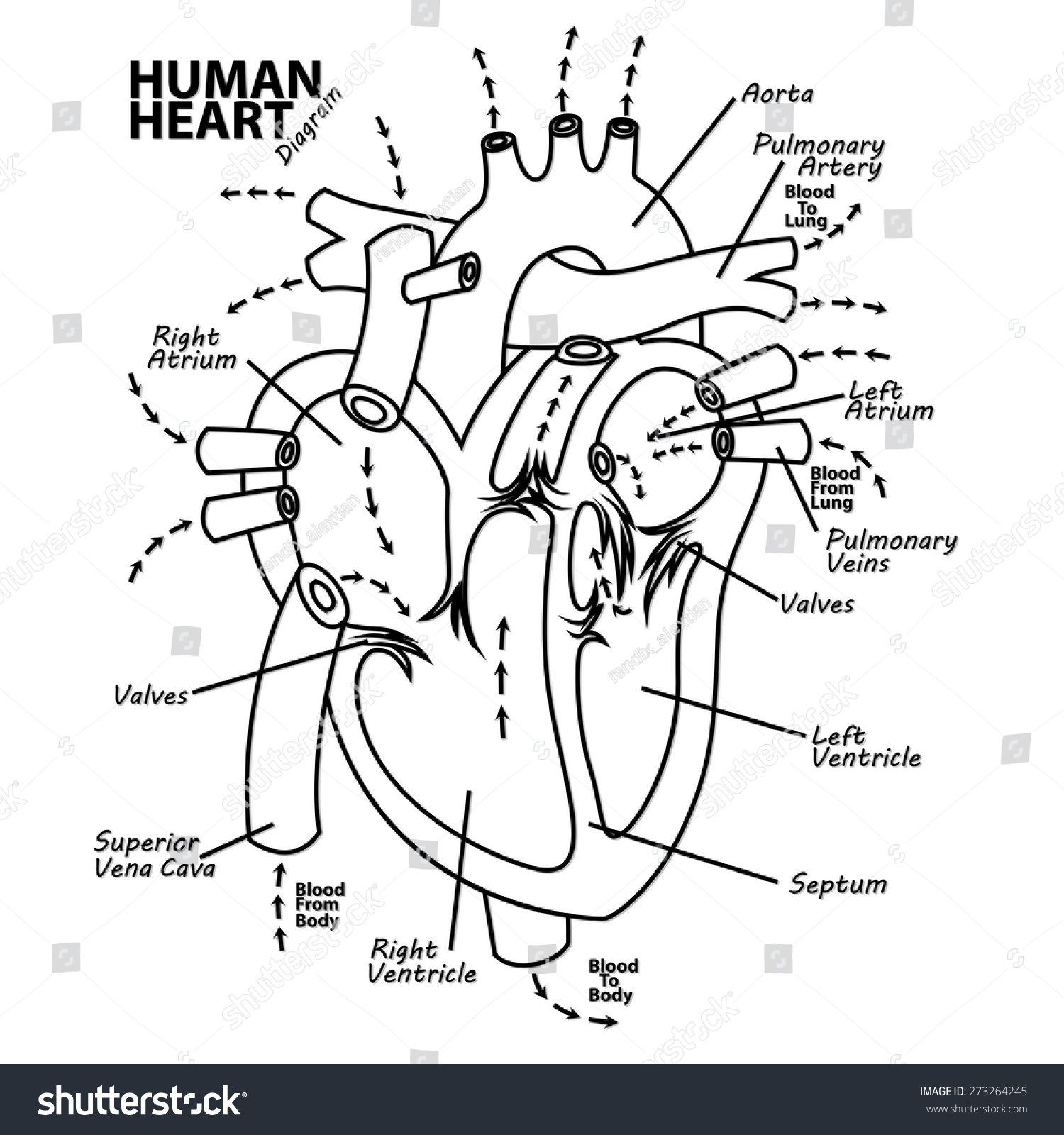 Human Heart Diagram Anatomy Stock Vector