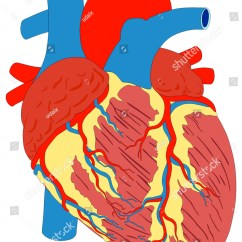 Heart Beat Diagram Robert J Lang Origami Human Muscle Gross Anatomy Vector Stock
