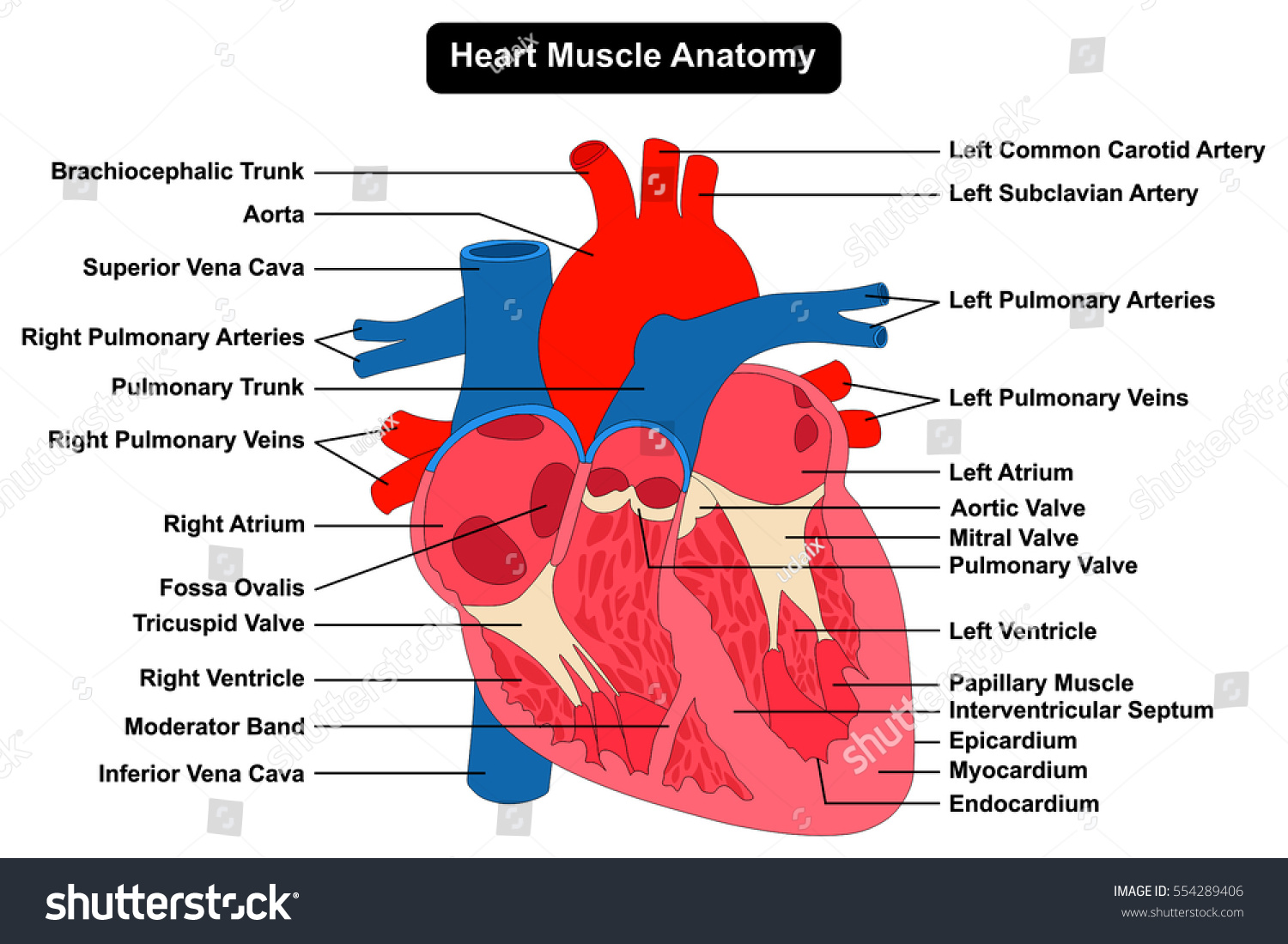 cardiac muscle labeled diagram speaker ohm wiring human heart structure anatomy infographic stock