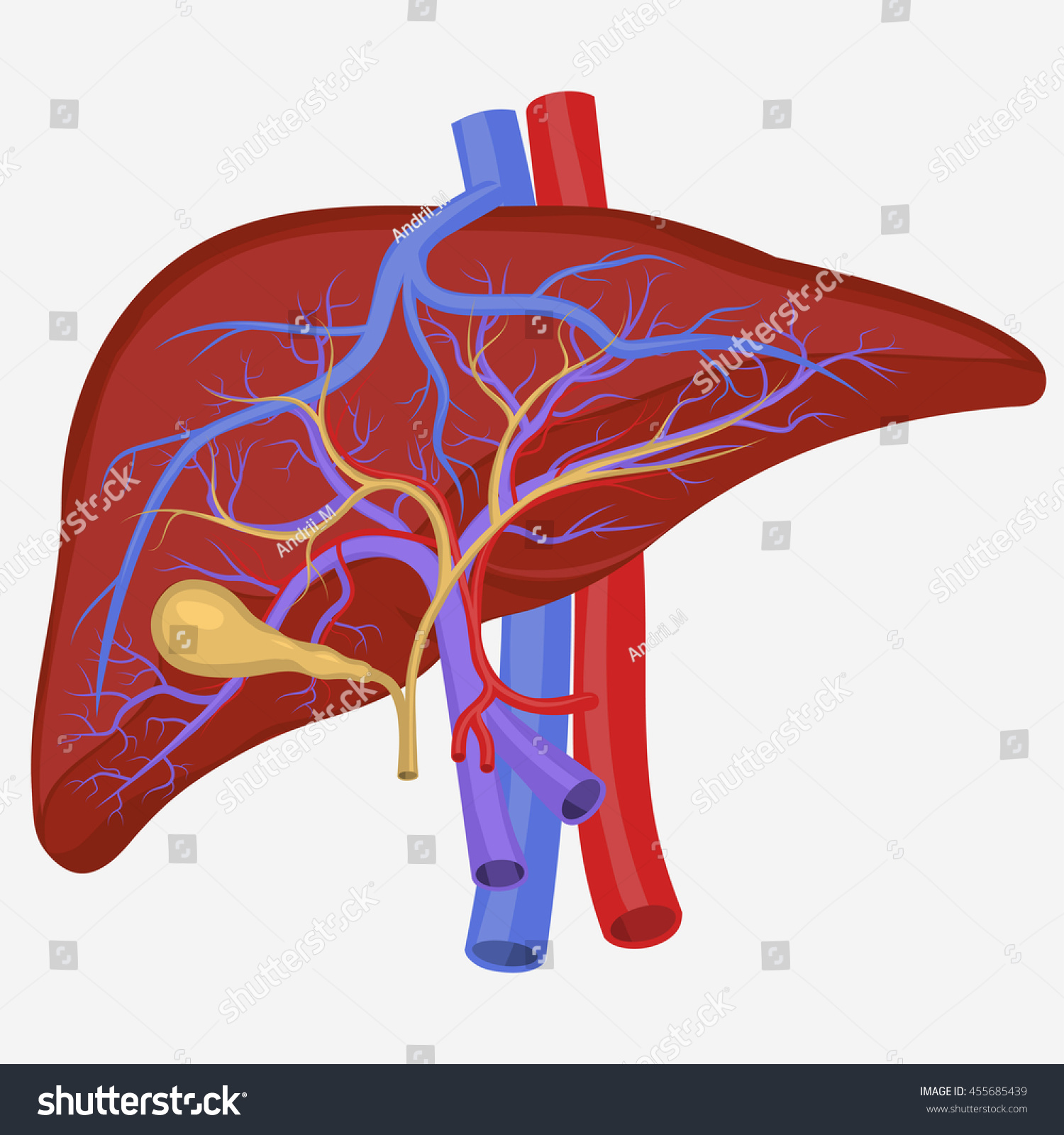 human liver diagram autotransformer wiring internal section digestive system stock vector