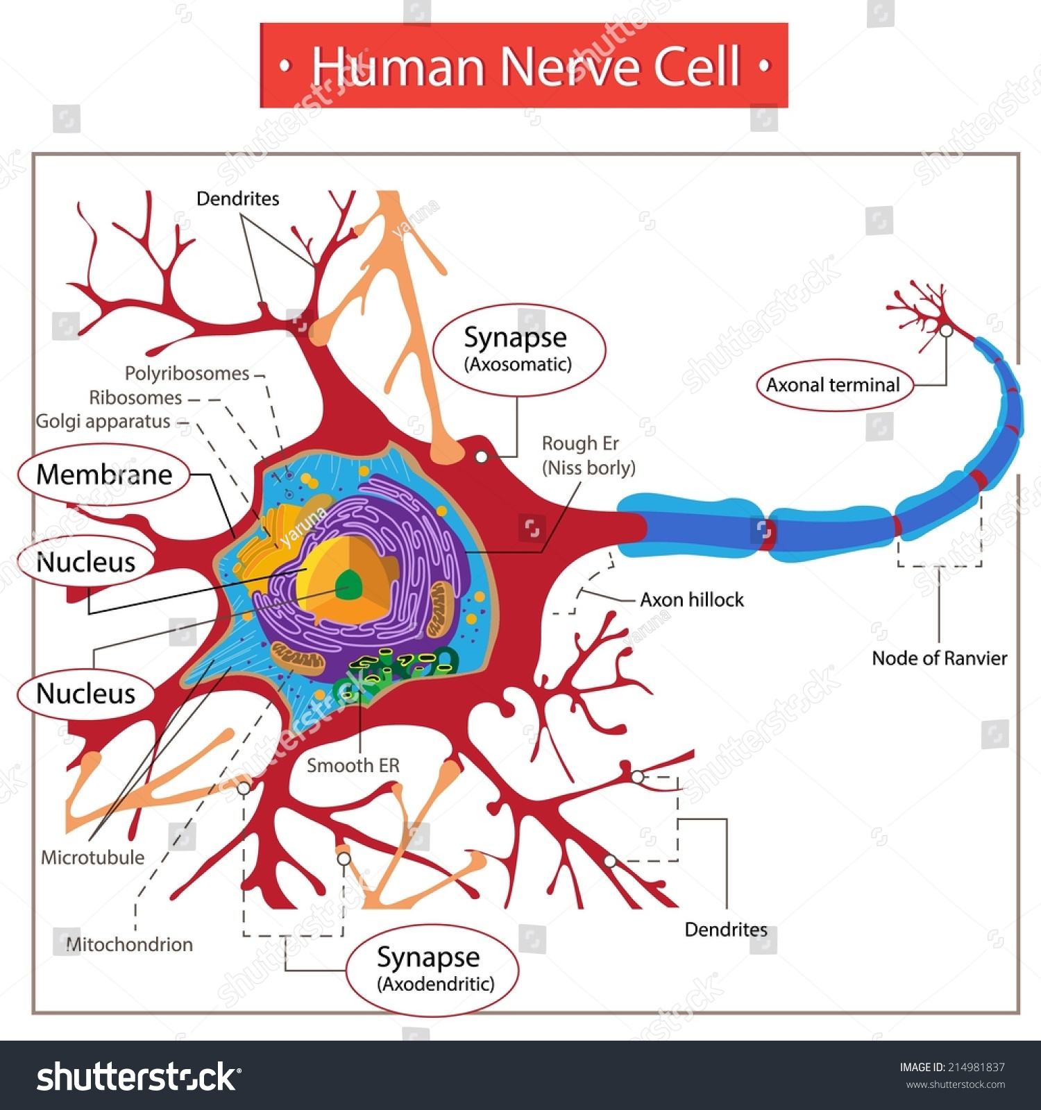 hight resolution of human nerve cell