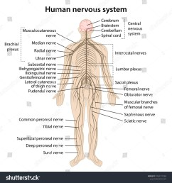 simple nervous system diagram [ 1500 x 1600 Pixel ]