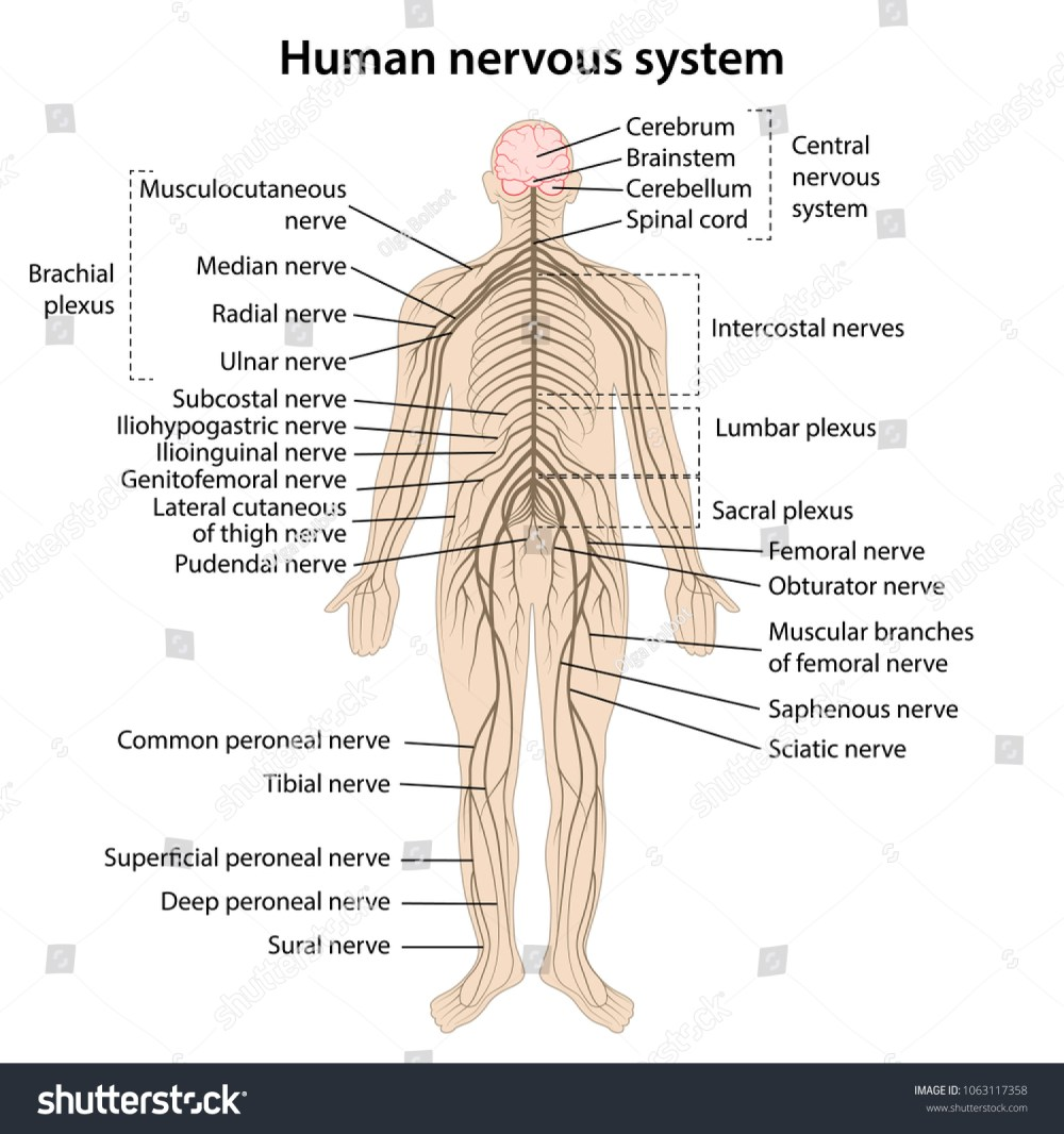 medium resolution of simple nervous system diagram