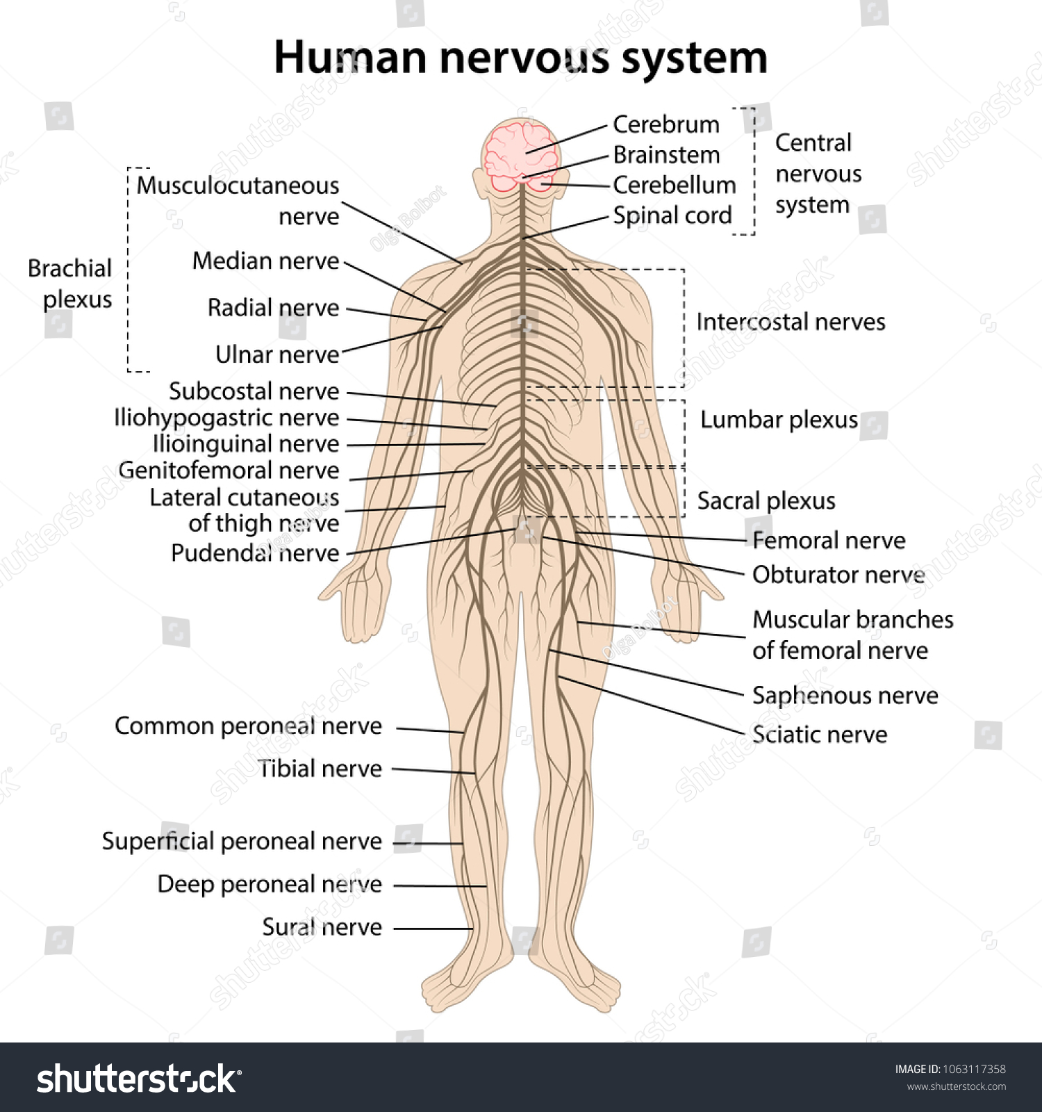 hight resolution of simple nervous system diagram