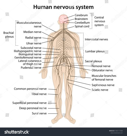 small resolution of simple nervous system diagram